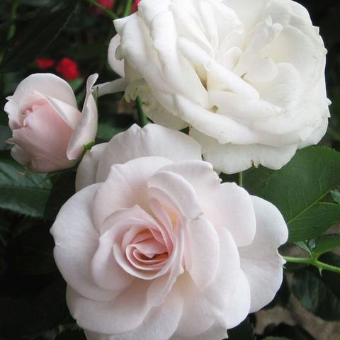 Роза парковая Аспирин