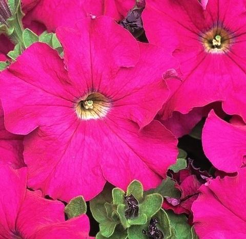 Семена Петуния грандифлора Дримс Неон роуз, 10 драже, Одн