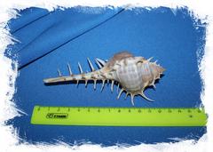 Размеры морских ракушек
