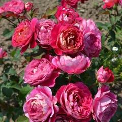 Centenaire de l'Ha\u00ff-les-roses