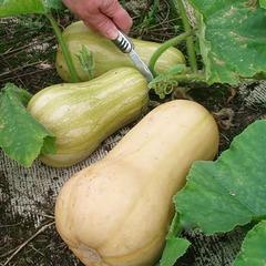 Семена тыквы мускатной Матильда F1, Enza Zaden, 5 шт.