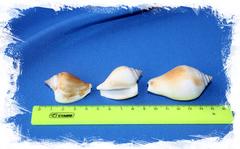Ракушки Стромбус Канариум размер