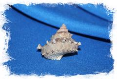Ракушка в коллекцию Bolma girgyllus