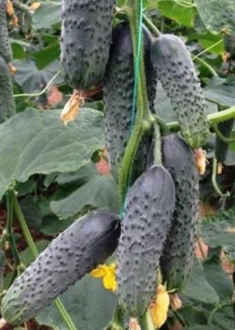 Семена Огурец Лютояр F1 (Yuksel Tohum)