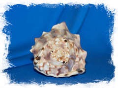 Cassis marmorata