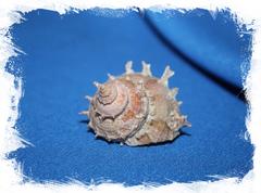 Больма гиргуллус (Bolma girgyllus)