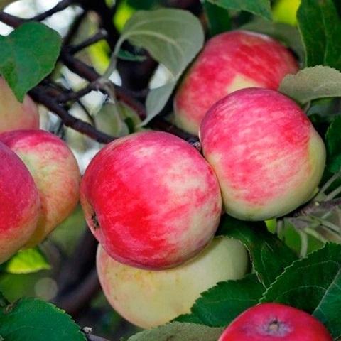 Яблоня летний сорт Серебряное копытце