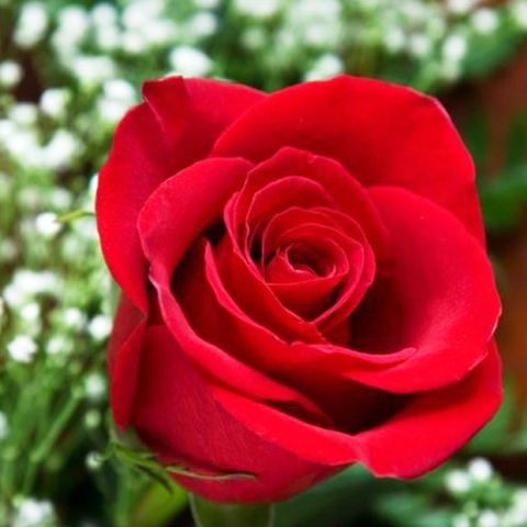 Роза чайно-гибридная Ферри Порше