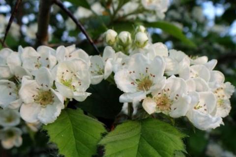Боярышник цветки в природе