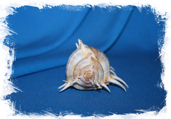 Коллекционная Морская раковина Murex scolopax