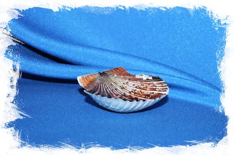 Гребешок пуксидатус (Minnivola pyxidata)