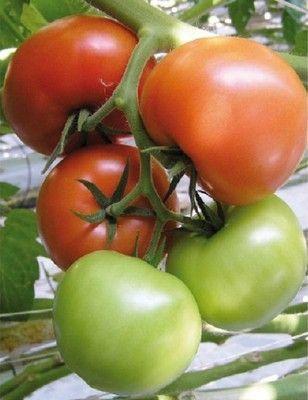 Томат Жеронимо F1 семена томата индетерминантного (De Ruiter Seeds / Де Ройтер Сидс) Жеронимо_F1__Geronimo_F1__семена_овощей_оптом.JPG