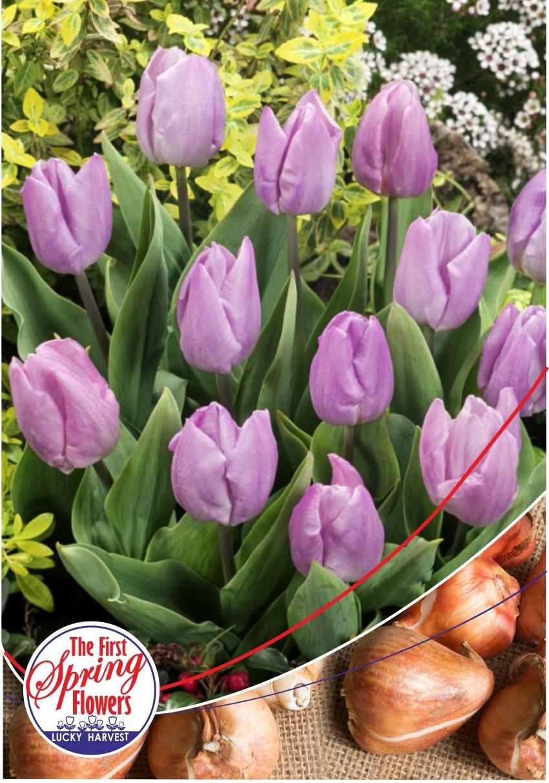 Луковицы Тюльпана Простого Раннего Candy Prince ( Кенди Принц) TM Jan de Wit en Zonen B.V. ( количество в упаковке 3 луковицы)
