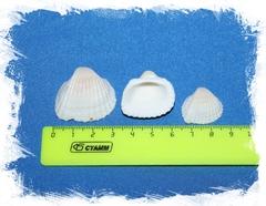Анадара 4 - 6 см