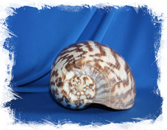 Морская раковина Voluta diadema