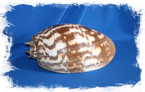 Морская раковина Melo amphora, Мело амфора