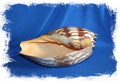 Крупная морская раковина Melo amphora, Мело амфора
