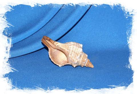 Плеуроплока трапезиум 7-10 см.