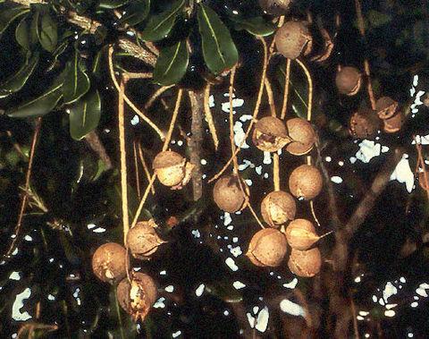 Макадамского ореха масло (рафинированное)