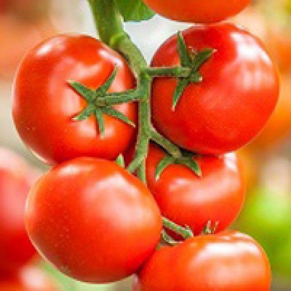 Томат Игидо F1 семена томата индетерминантного (Seminis / Семинис) Игидо_семена_овощей_оптом.jpg