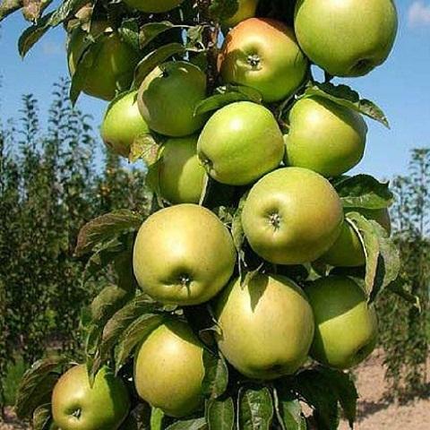 Яблоня колоновидная летний сорт Президент