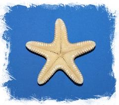 Морская звезда Астеродискус 10 -12,5 см.