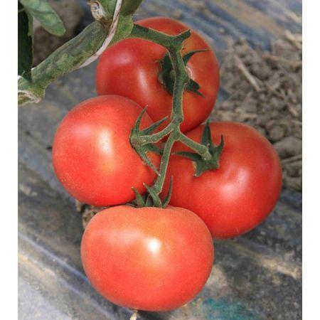 Томат Буран F1 семена томата индетерминантного (Enza Zaden / Энза Заден) buran.jpg