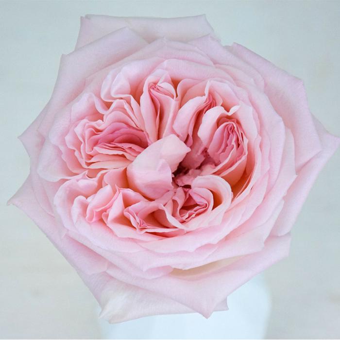 Купить розовую пионовидную розу Пинк ОХара в Перми
