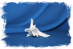 Мурекс элонгатус (Pterynotus elongatus)
