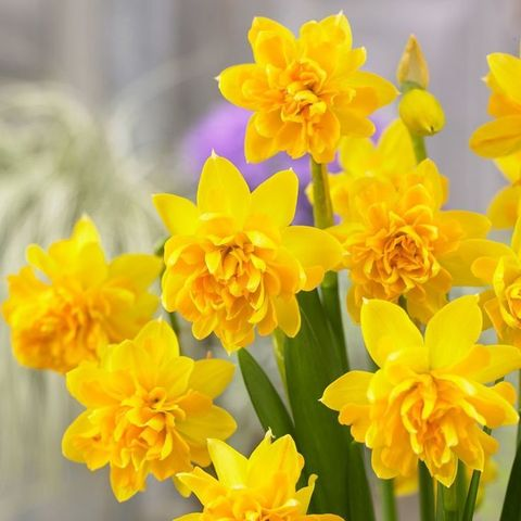 Нарцисс Ботанический