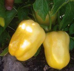 Поло F1 семена перца сладкого (Sakata / Саката)