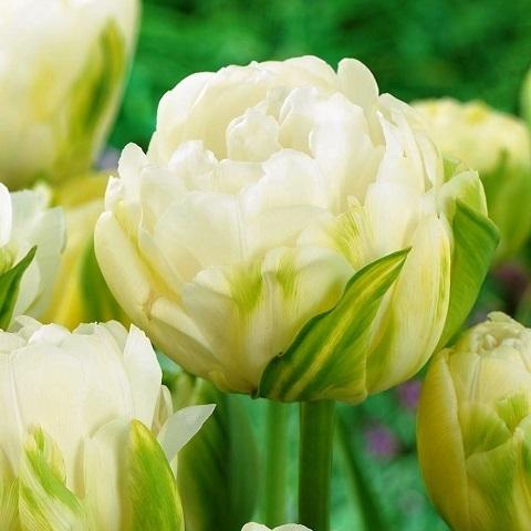 Тюльпан Маурин Дабл 5 шт