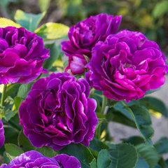 Роза флорибунда Минерва Minerva купить