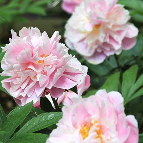 Пион Pink Charmer
