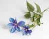 Клематис сине-голубой