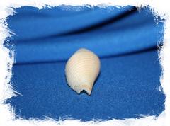 Конус короманделикус (Conus coromandelicus)