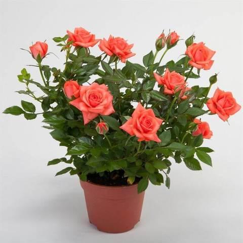 Роза Кордана оранжевая Мерседес