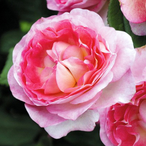 Роза парковая Мадам де Стайл