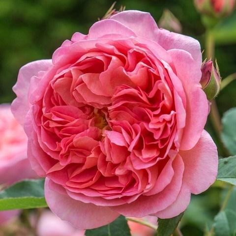 Роза английская душистая Боскобель