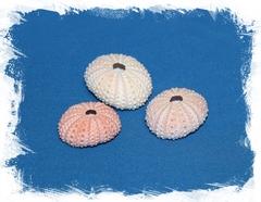 Панцирь морского ежа розовый