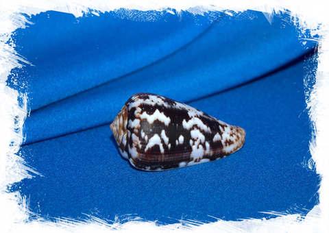 Конус альбукерке (Conus albuquerquei)