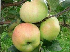 Яблоки Сенап Северный (1 кг)