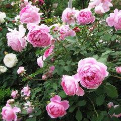 Купить Роза английская Алан Титчмарш