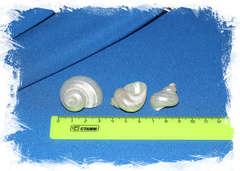 Перламутровые ракушки размер