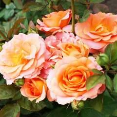 Роза флорибунда Вивьен Вествуд Vivienne Westwood купить