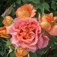 Роза флорибунда Vivienne Westwood