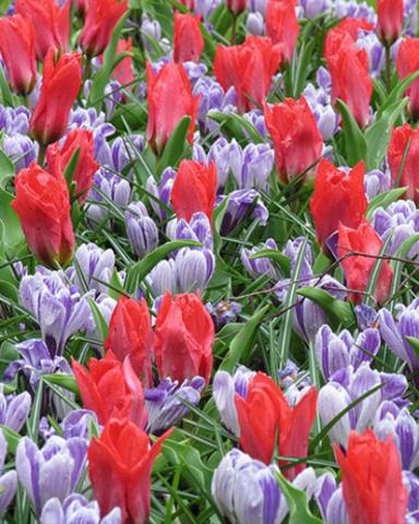 Микс ландшафтный Promise of Spring (50 шт.)