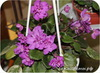 Фиалка, Honeysuckle Rose (MunkDattalo)