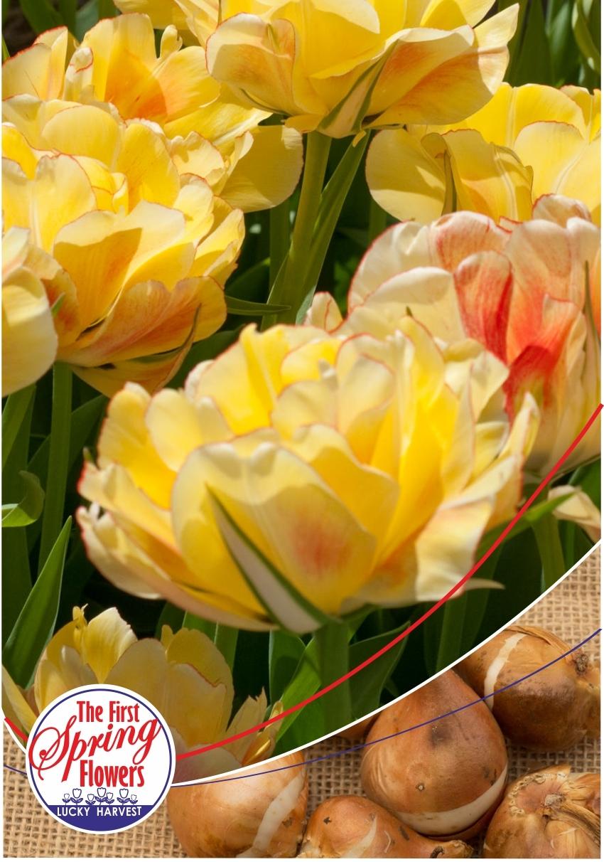 Луковицы Тюльпана  Махрового позднего Yellow Pomponette (Йеллоу Помпонетт) TM Jan de Wit en Zonen B.V. ( количество в упаковке 3 луковицы)