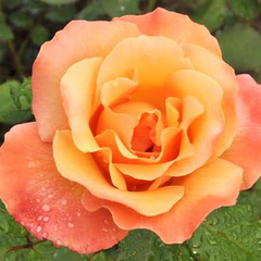 Роза чайно-гибридная Лолита